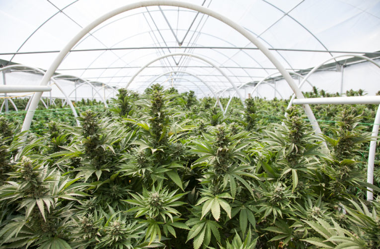 La Creuse : « silicon valley » du cannabis thérapeutique
